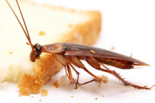 Боятся ли тараканы воды?