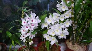 Уход за орхидеями в домашних условиях: Фаленопсис и Дендробиум