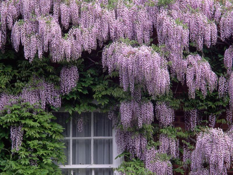 Вьющиеся растения в вертикальном озеленении