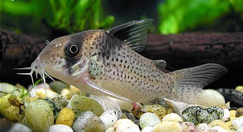 Крапчатые сомики: экстремалы аквариумного мира