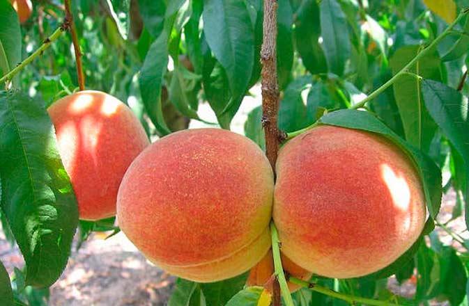 Выращивание и уход за персиком на участке