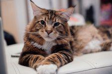 Огромный и толстый кот: мейн — кун!