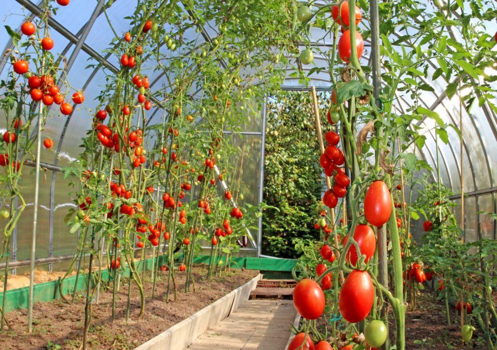 Высаживаем томаты в теплицу